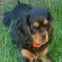 Cavalier_kingcharlesspanielbuddy12weeks